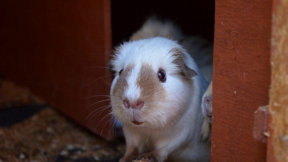 You are a guinea pig